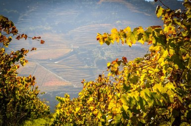 Vines and vineyards of the Douro Valley