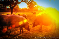 The Iberian Black pig is free-range in order to become a Jamón ibérico de Bellota