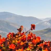 The urban cityscape is exchanged by combed vineyards, orchards and olive groves as you follow the Douro to the west.