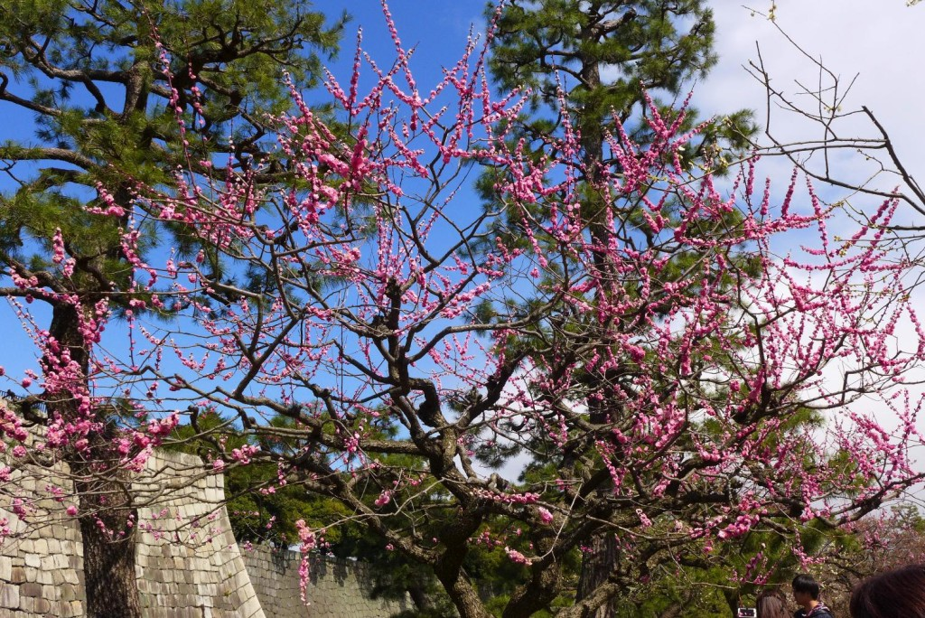Plum Blossoms at Nijo Castle