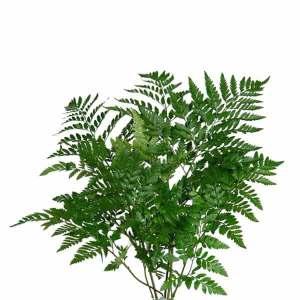Leather Ferns