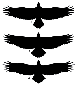 eagle pictures awi silhouette