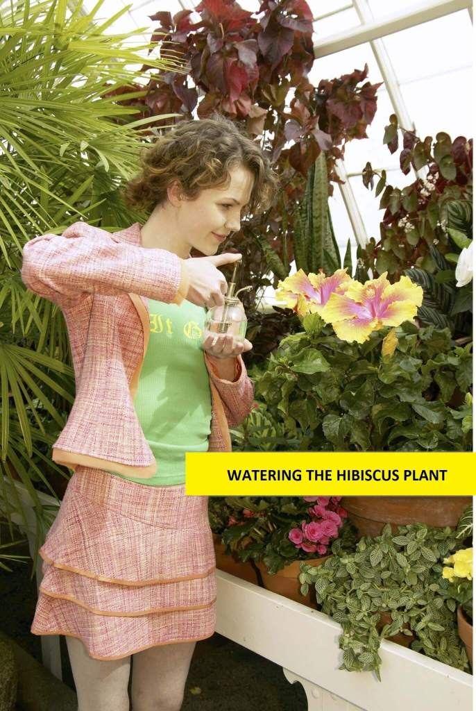 Watering the hibiscus plant