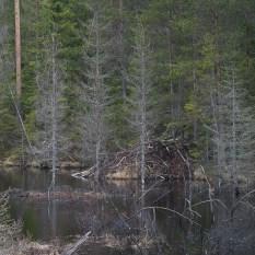 Bäverhyddan i deras damm