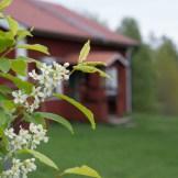 Det blommar vid Kilsbergsstugan