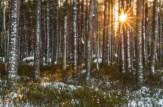 Sol i tallskogen