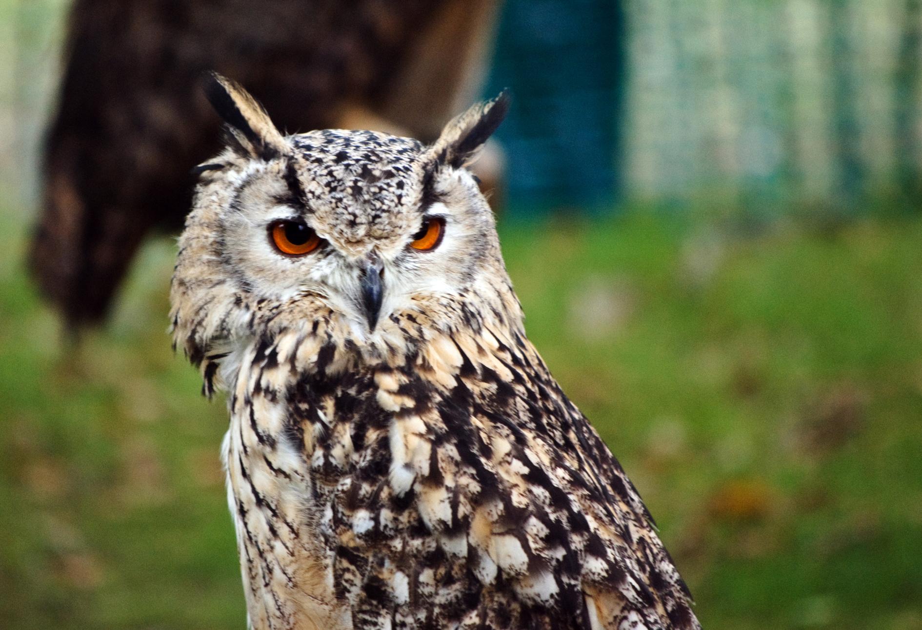 Bengal Eagle Owl 2