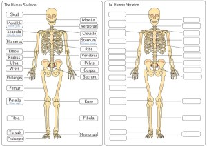 Human Skeleton Diagram Labelling Sheets | Free Early Years