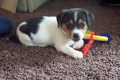 puppy sitting on floor with toys, looking at camera