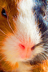 close up picture of brown white and black guinea pig's face