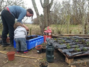 Planting Strawberry plants