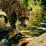 Jaguar crossing a river