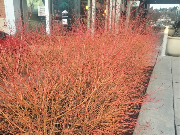 Exciting plants for the dead of winter earthdance organics in spring the new growth of dogwood shrubs provides excellent havens for small birds making their northern journey small clusters of white flowers cover mightylinksfo