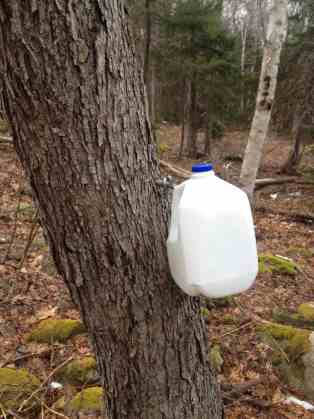 milk jug collecting maple syrup