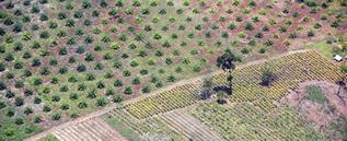 aerial photo of a tree plantation