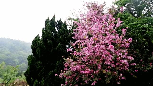 Cherry blossoms taiwan 2018 #EarthinTaiwan