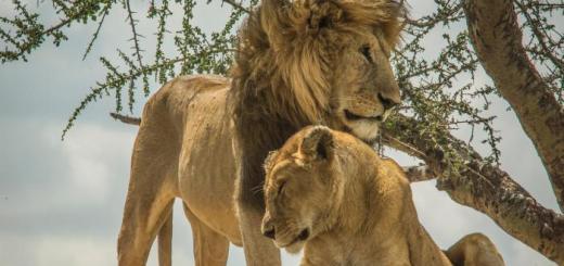 Herdsmen Kill 6 Lions, 74 Endangered Vultures in Tanzania