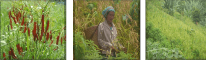 Improved Jhum cultivation: