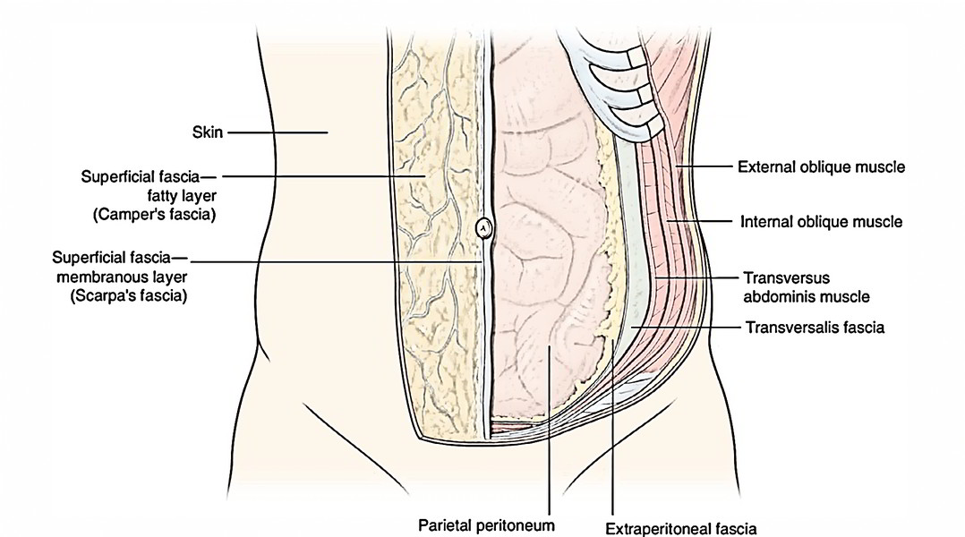Magnificent Abdominal Wall Muscles Anatomy Image Collection ...