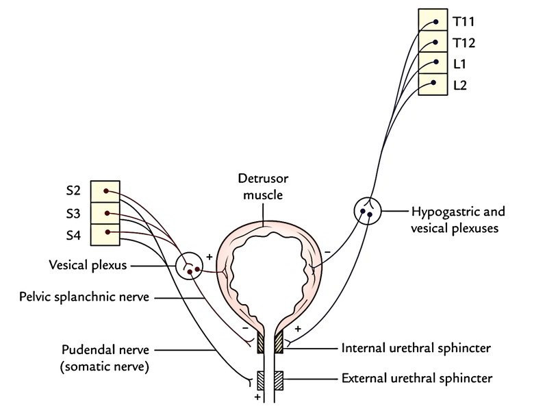 External Urethral Sphincter Innervation
