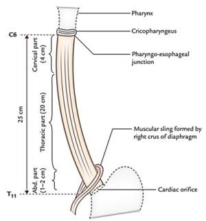 Simple Diagram Of Esophagus  camizu