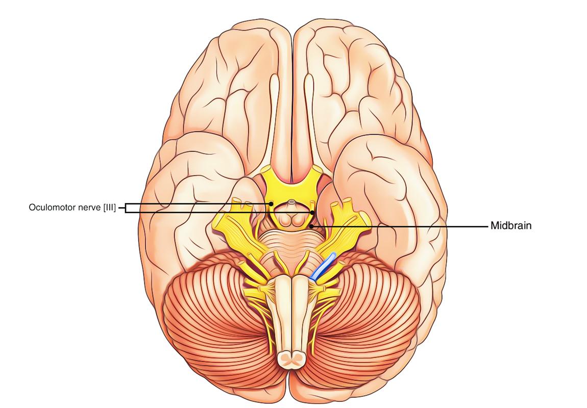 Middle Cranial Fossa Anatomy