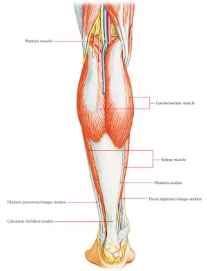 Easy Notes On 【Posterior Compartment of The Leg】 – Earth's Lab