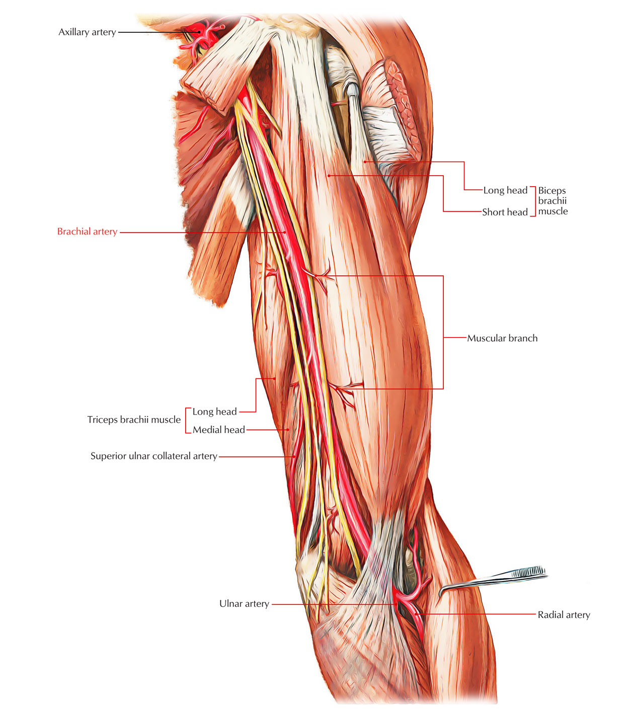 Easy Notes On Arteries Of The Upper Limb Learn In Just 4