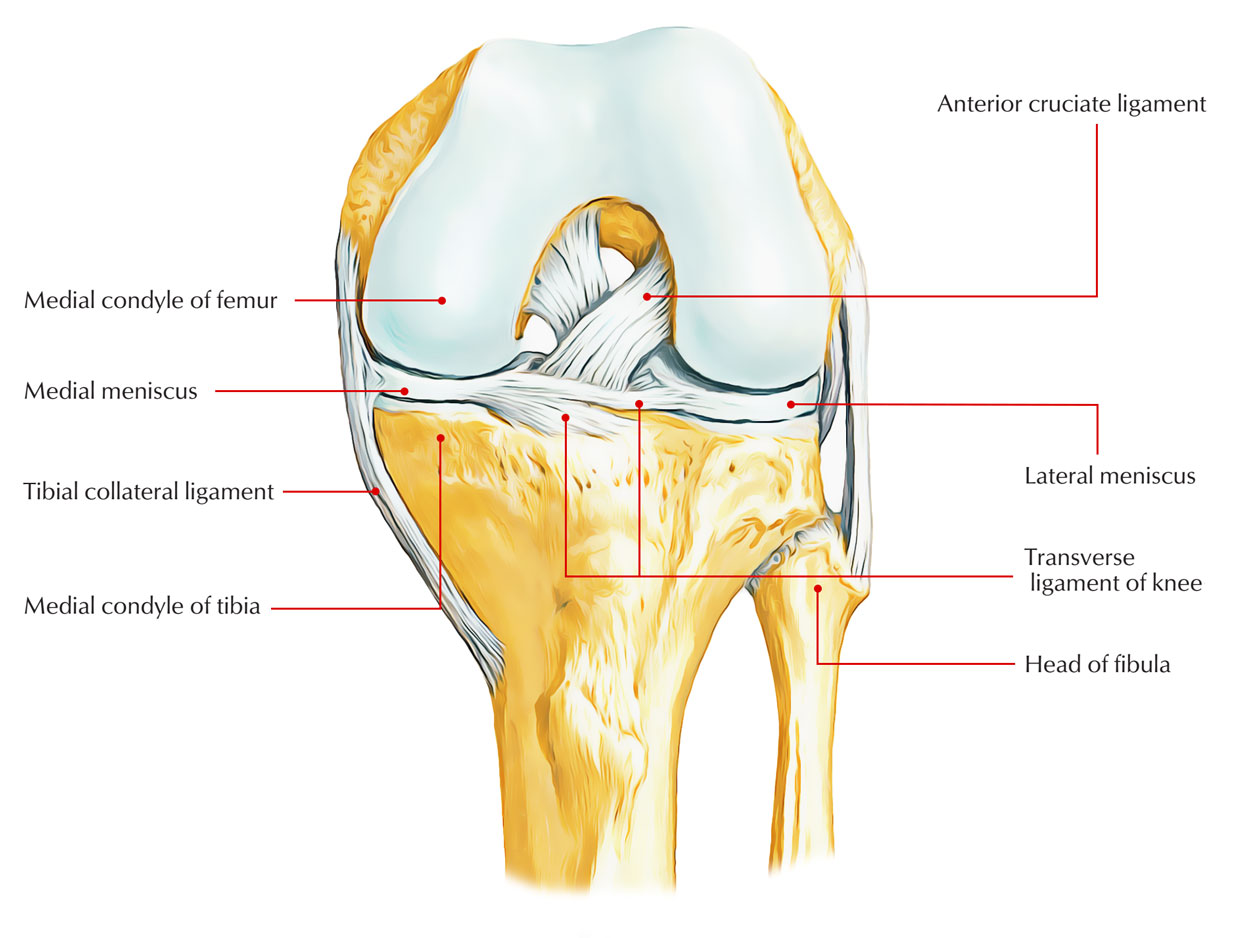 Easy Notes On Medial Meniscus Learn In Just 4 Minutes Earth S Lab