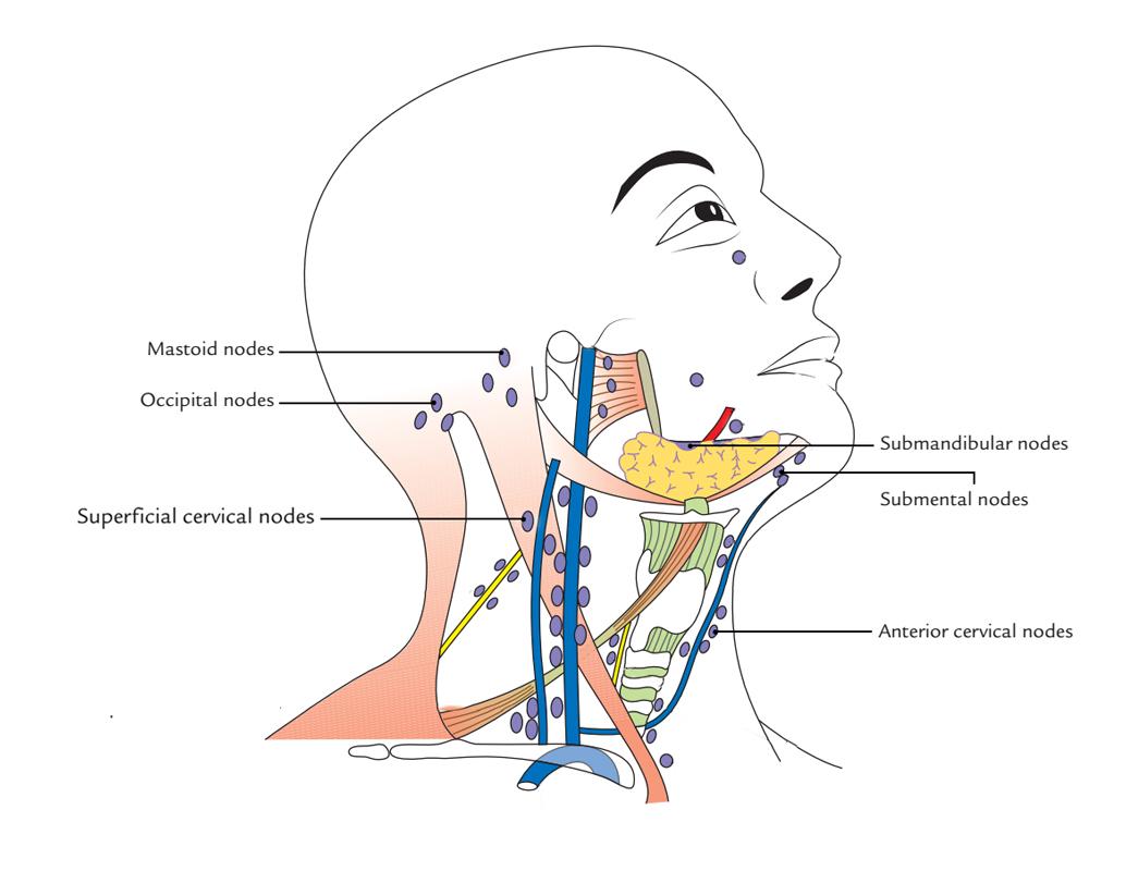 Internal And External Jugular Vein Anatomy