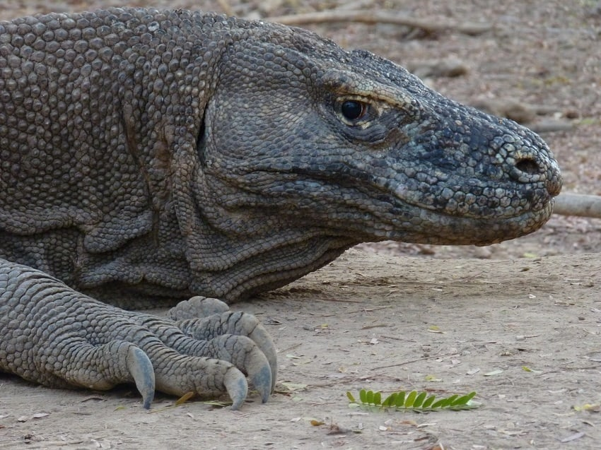 komodo dragon head and claw closeup