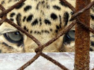 Asian leopard (China)