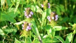 Shilpa's Wildflower Highlights » Self-heal