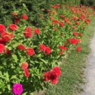 Zinnias - Springwood Rose Garden