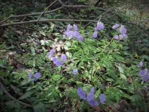 Purple Phacelia