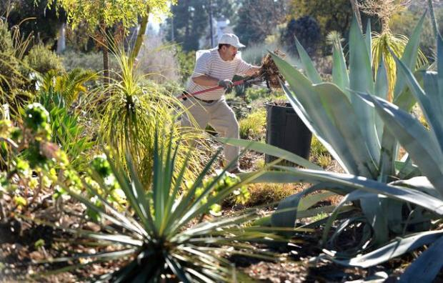 Martin Viveros takes advantage of a sunny warm day to do some raking around the succulents at the Ruth Bancroft Gardens in Walnut Creek, Calif., on Wednesday, Jan. 15, 2014. (Dan Honda/Bay Area News Group)
