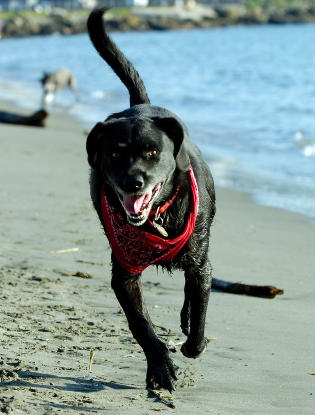Oliver, belonging to Robert and Carol Arnold, of Oakland, enjoys a run on the beach in Albany, Calif. on Thursday, Jan. 31, 2013. Canines and some recreational users are the basis of a legal action challenging the Environmental Impact Report for the restoration of Albany Beach. (Kristopher Skinner/Staff)