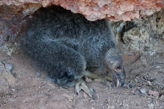 An endangered California condor chick that hatched in the wild successfully took flight from a nest at Pinnacles National Park last week for the first time since the 1890s. (National Park Service)