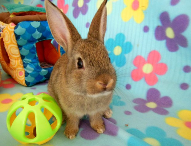 'Bing Boy' will be available for adoption at Sunday's Rabbit Haven event at Pet Pals in Soquel. (Rabbit Haven -- contributed)