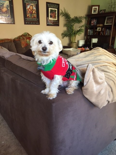 Penny Warner/for Bay Area News GroupMaltese canine mix Harley Quinn Davidson is the newest addition to columnist Penny Warner's home.