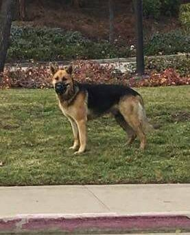 This lost, frightened and muzzled German shepherd led Antioch police on achase going both west and west on Highway 4 on Sunday before he was rescued in an Antioch backyard. His owner has not been found. Courtesy Fido Alert