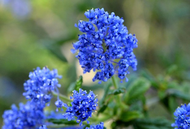 Flowers from a ceanothus are photographed in the front yard of the home of Chris and Lorianne Mayo, that features native plants, in Brentwood, Calif., on Friday, April 14, 2017. The Mayo's garden will be part of the annual Bringing Back the Natives Garden Tour on May 7.(Doug Duran/Bay Area News Group)