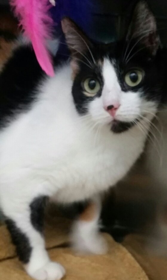 Chicago is a 1-year-old female Calico who is sweet but a little shy. Heradoption number is A124318. The shelter's featured pets, and many other animals, are available from Antioch Animal Services, 300 L St. The center is open from 10 a.m. to 5 p.m. Tuesday, Wednesday, Thursday and Friday; and 10 a.m. to 4 p.m. Saturday. All of the pets from the center can be viewed at www.shelterme.com. Call 925-779-6989 . Courtesy Cat Cottle
