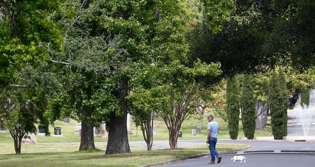 A man walks with his dog off leash through Mountain View Cemetery on Wednesday, June 7, 2017, in Oakland, Calif. The cemetery only allows dogs on the grounds that are leashed and no more then two dogs per person. (Aric Crabb/Bay Area News Group)