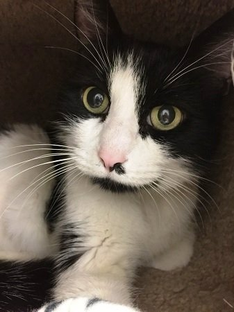 Sylvester is Humane Society's Pet of the Week.(Courtesy of Contra Costa Humane Society)