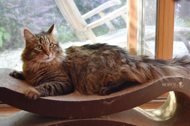 Lawrence is Maine Coon Adoptions' Pet of the Week.(Courtesy of Maine Coon Adoptions)