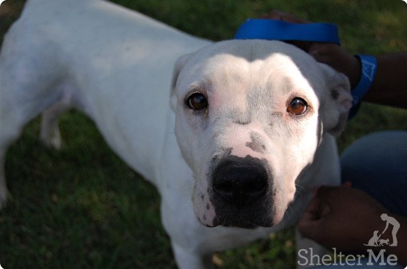 Diamond is a 9-year-old beauty in need of a loving, quiet comfy home. Thedog's adoption number is A095925. The shelter's featured pets, and many other animals, are available from Antioch Animal Services, 300 L St. The center is open from 10 a.m. to 5 p.m. Tuesday, Wednesday, Thursday; 10 a.m. to 2 p.m. Friday; and 10 a.m. to 5 p.m. Saturday. All of the pets from the center can be viewed at www.shelterme.com. Call 925-779-6989 . COURTESY CAT COTTLE