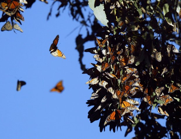 Thousands of Monarch butterflies cluster on Eucalyptus tree limbs at Ardenwood Historic Farms in Fremont on Nov. 25, 2011. (Anda Chu/Staff archives)