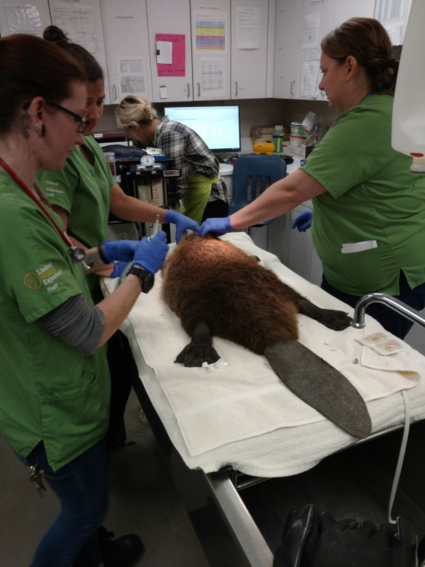 The medical team at Lindsay Wildlife Experience in Walnut Creek is treating an injured 35-pound male beaver who was found in a Pittsburg parking lot on Oct. 18, 2017.