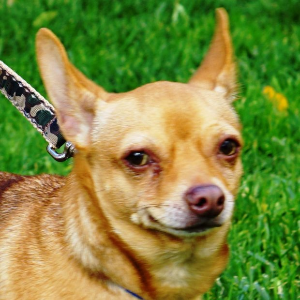 Oz is the ARF Pet of the Week for Nov. 10.(Courtesy of ARF)
